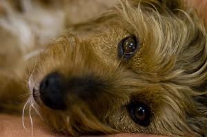 psie-oczy